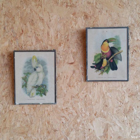 Vintage set van 2 prenten exotische vogels, jaren '40